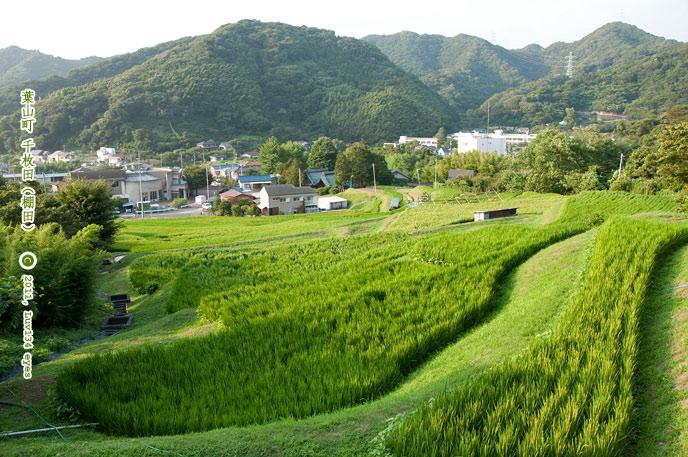 イネ 葉山千枚田 2011/08/15