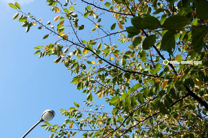 サクラの黄葉 逗子市・ハイランドさくら道 2011/09/10