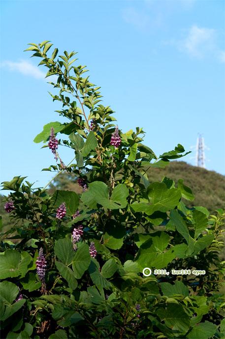 クズ 逗子市・逗子久木ハイランド 2011/09/10