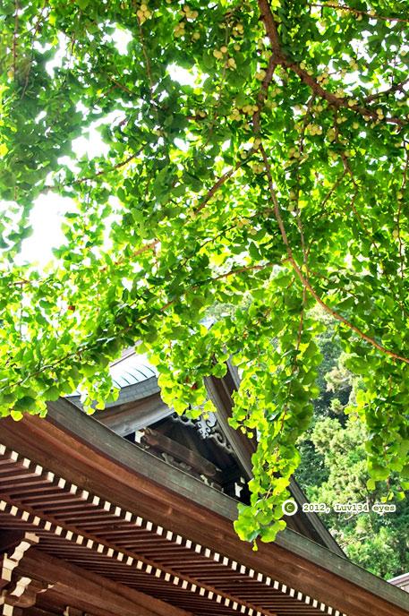 ギンナン 坂ノ下御霊神社 2012/09/05