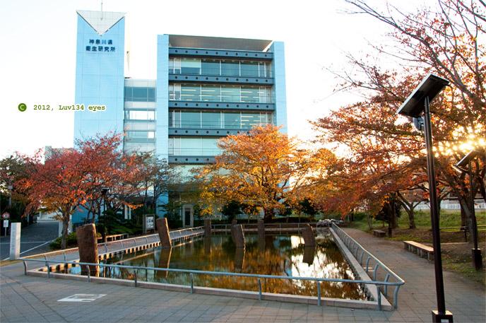 ソメイヨシノの紅葉 茅ヶ崎市・旧相模川橋脚 2012/11/16