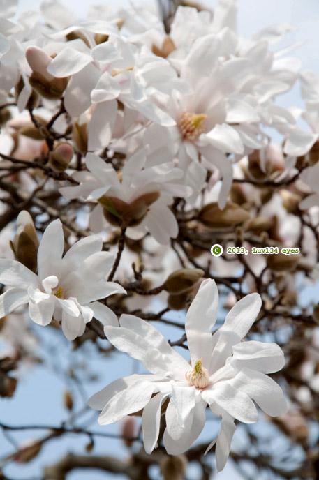 シデコブシ 玉縄龍宝寺山門向かい民家 2013/03/13
