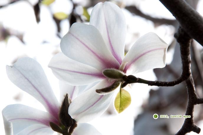 コブシ 鎌倉市長谷 2013/03/17
