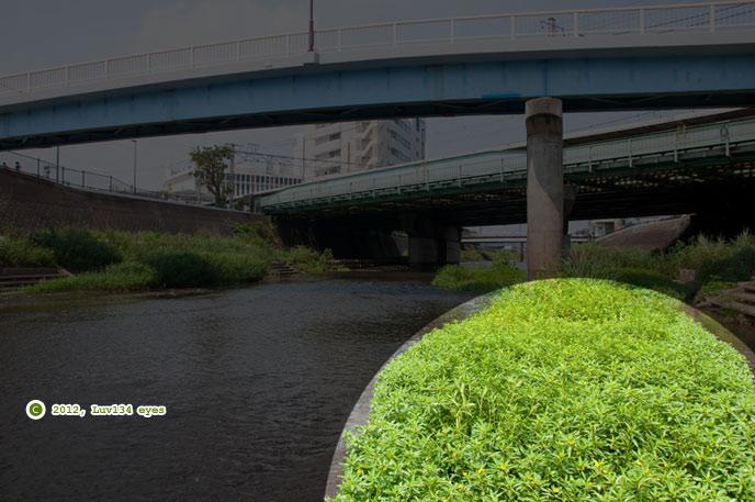ミズキンバイ 横浜市戸塚区上倉田町・柏尾川「朝日橋」下流 2012/07/26