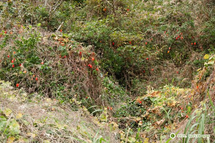 カラスウリの実、荒地の内部は小さな鳥たちの安住の地になっている 三浦市・毘沙門海岸 2015/11/22