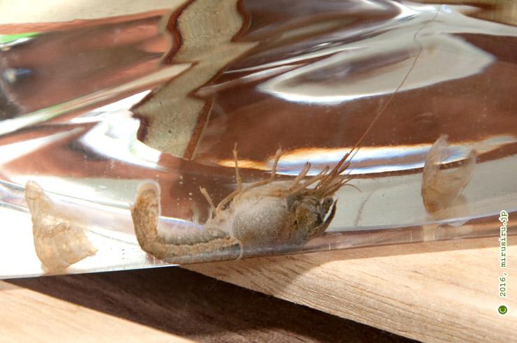 脱皮失敗で死んだアメリカザリガニの幼体 藤沢市・引地川親水公園産 2016/07/12