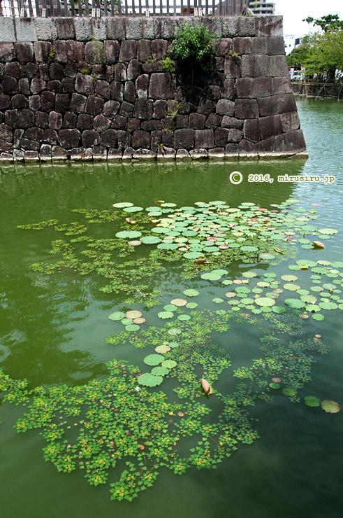 ヒシ 小田原城址公園 2016/08/08
