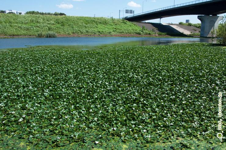 池面を覆うヒシの大群生 新横浜公園減勢池 2016/08/31
