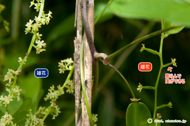 オニドコロの雄花と雌花 箱根自然学習歩道 2016/09/06