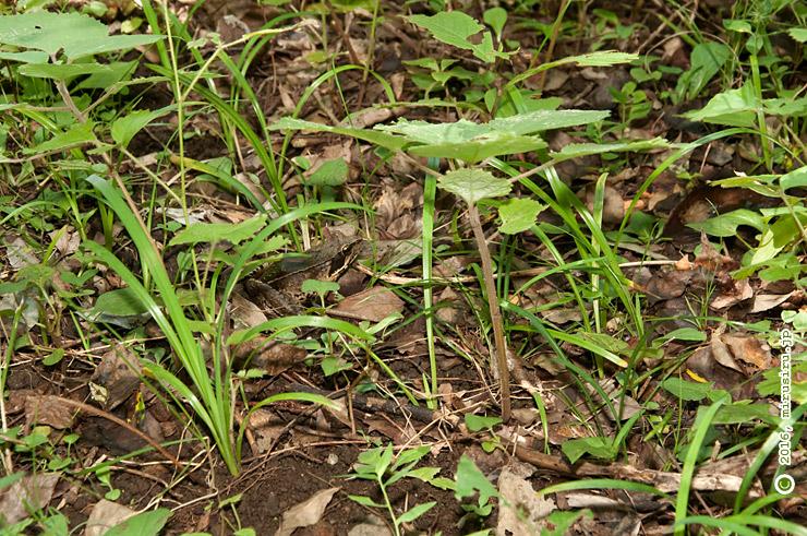 土と落ち葉に紛れたニホンアカガエル 清水谷
