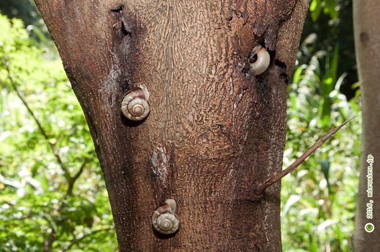 樹上で休むミズジマイマイ 清水谷 2016/09/09