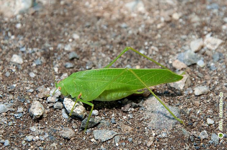 樹上から落下してきたヒメクダマキモドキのオス 新林公園(長屋門裏) 2016/09/27