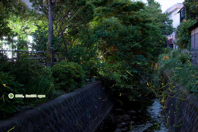 十数年ぶりという70匹程の大発生が見られたゲンジボタル 鎌倉市・二階堂川 2012/06/02