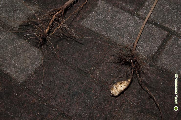 芋が付いてこなかったもの(左)と芋が一つ付いてきたイヌキクイモ(右) 茅ヶ崎市柳島・しおさいの森 2016/10/27