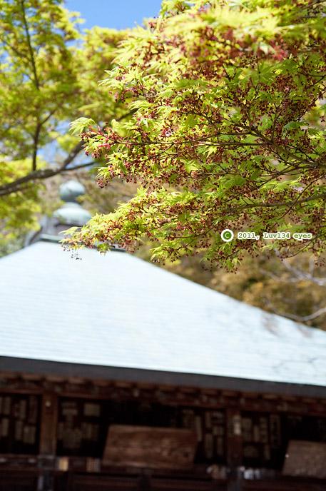 カエデの花 鎌倉市・浄光明寺(不動堂前) 2011/04/17