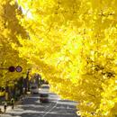 イチョウ並木の黄葉 東京都八王子市・国道20号甲州街道 2016/11/18