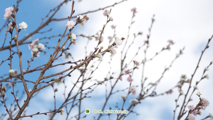 コブクザクラ 鎌倉市・大船フラワーセンター 2016/11/29