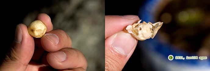 センダンの実、右は皮を剥いでみたもの 鎌倉市・本覚寺 2011/01/07