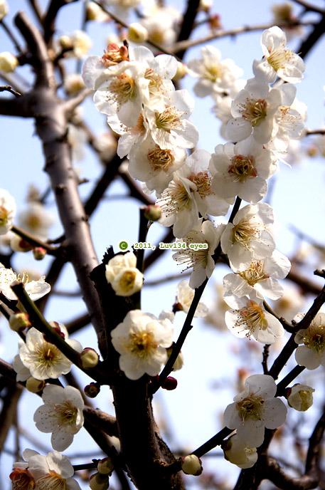 白梅 荏柄天神社参道 2011/03/03