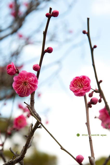 紅梅 鎌倉市腰越・宝善院 2012/02/27