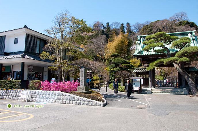 ヨシノツツジ 長谷寺 2012/04/04