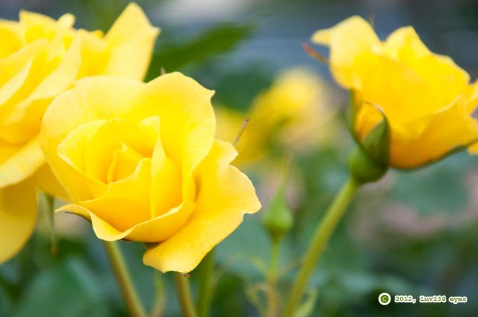 バラ 藤沢市亀井野・日本大学生物資源科学部バラ園 2012/05/23