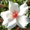 バラ 'ホワイト・ウィングス' ヴェルニー公園 2012/10/21