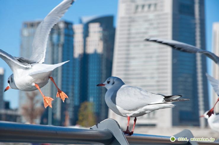 ユリカモメ 横浜市中区・万国橋南側 2016/12/28