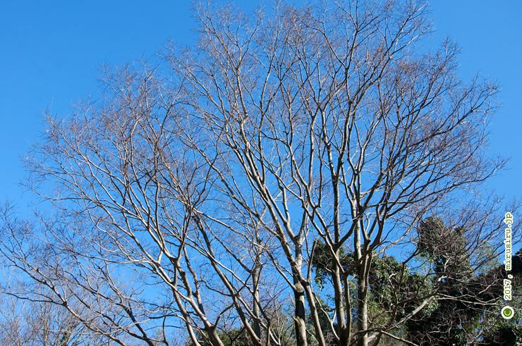 冬枯れの樹木 茅ケ崎里山公園 2017/01/01