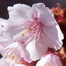 カンザクラ(あたみ桜) 静岡県熱海市・糸川遊歩道 2017/01/16
