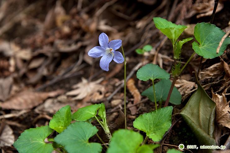 花が極端に立ち上がったタチツボスミレ 大磯町・高麗山 2016/04/02