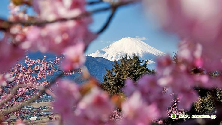 富士山とカワヅザクラ 松田町・西平畑公園 2017/02/13