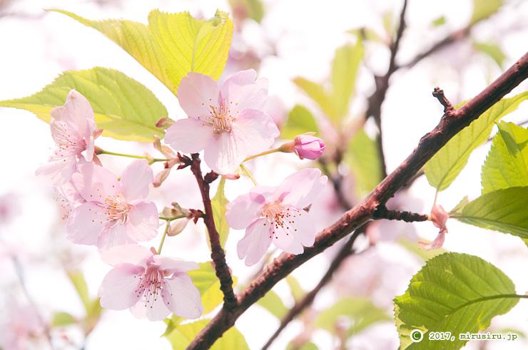 カワヅザクラの葉桜 平塚市・高麗山公園 ヤブラン平 2017/02/19