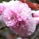 カンザン 鎌倉市植木・龍宝寺 2011/04/22