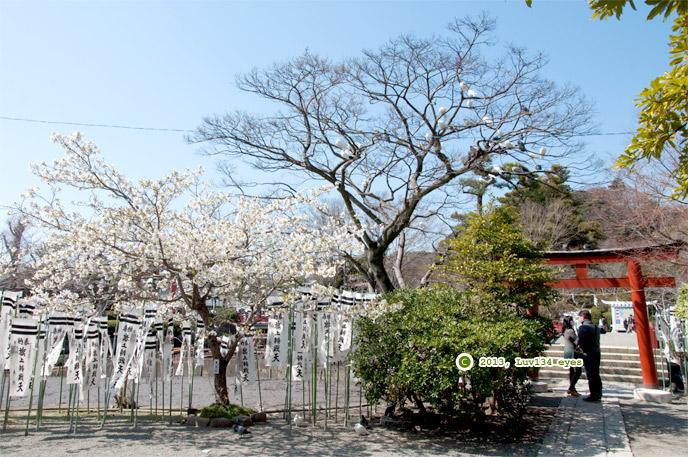 オオシマザクラ 鶴岡八幡宮 2013/03/15