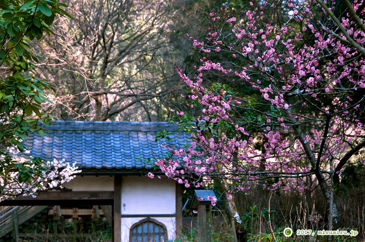 ウメ 鎌倉市・明月院 2017/02/28