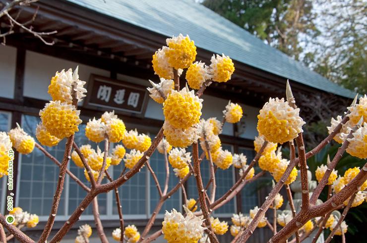 タイリンミツマタ 横須賀市大矢部・清雲寺 2017/03/04