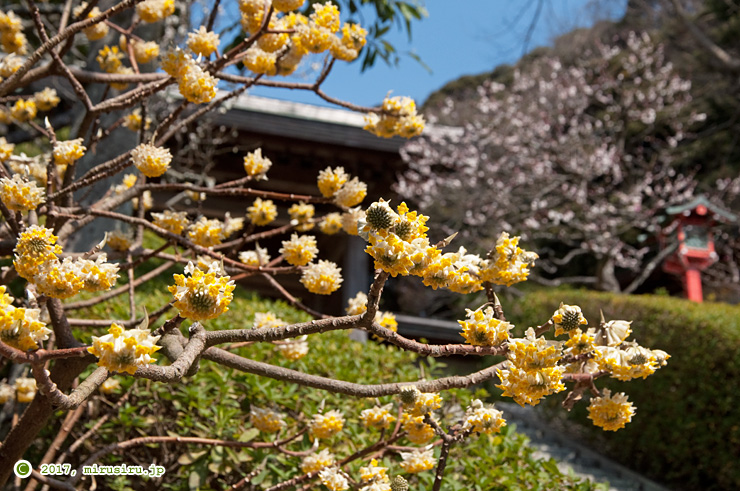 タイリンミツマタ 荏柄天神社 2017/03/05