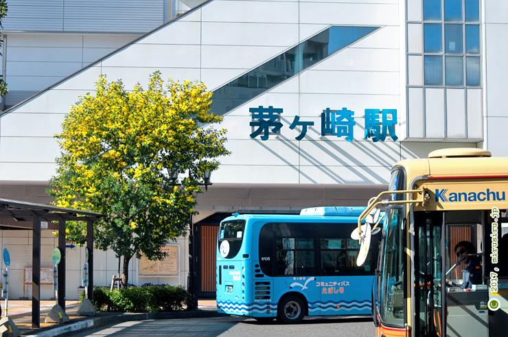 フサアカシア JR茅ヶ崎駅南口 2017/03/07
