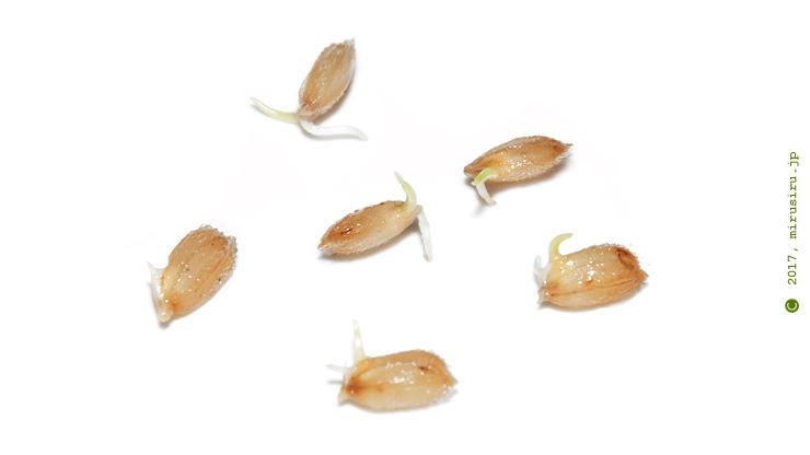 発芽したイネの種籾 ※わかりやすく見えるように芽を長く伸ばしてから撮影、種蒔きするには伸びすぎ