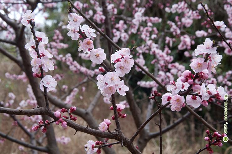 アンズ 横須賀市・貝山緑地 2017/03/22