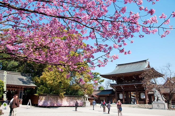ヨコハマヒザクラ 寒川神社 2016/03/29