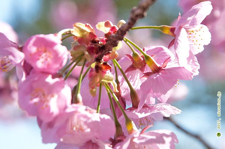 ヨコハマヒザクラの萼 寒川神社 2016/03/29