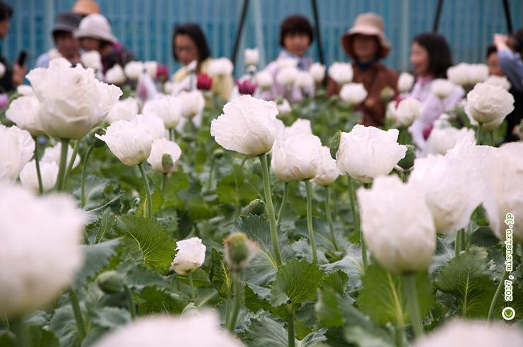 ケシ'一貫種' 東京都小平市・東京都薬用植物園 2016/05/06