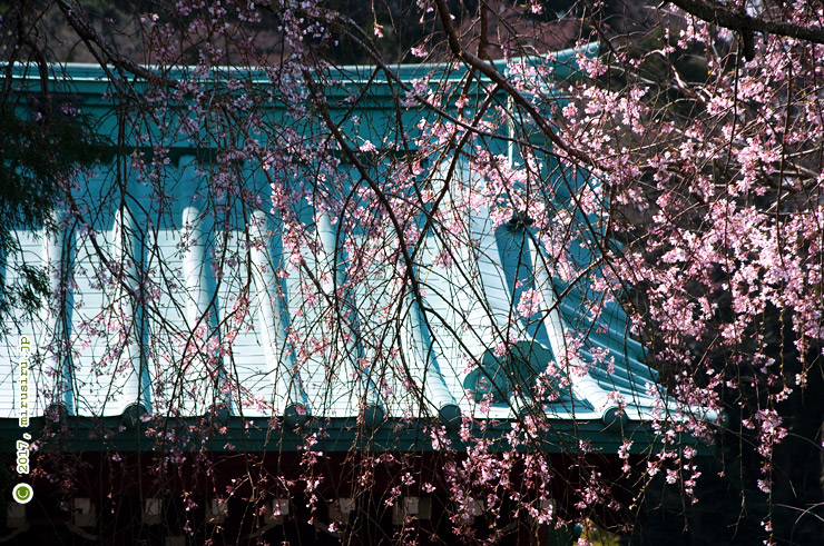 シダレザクラ 鎌倉市・光則寺 2017/03/28