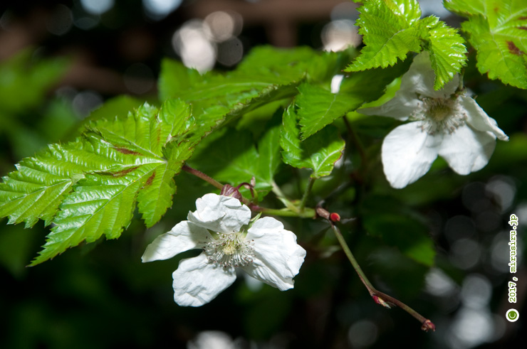 花が下向きに垂れるカジイチゴ(モミジイチゴとの雑種か) 逗子市・大崎公園 2017/03/28