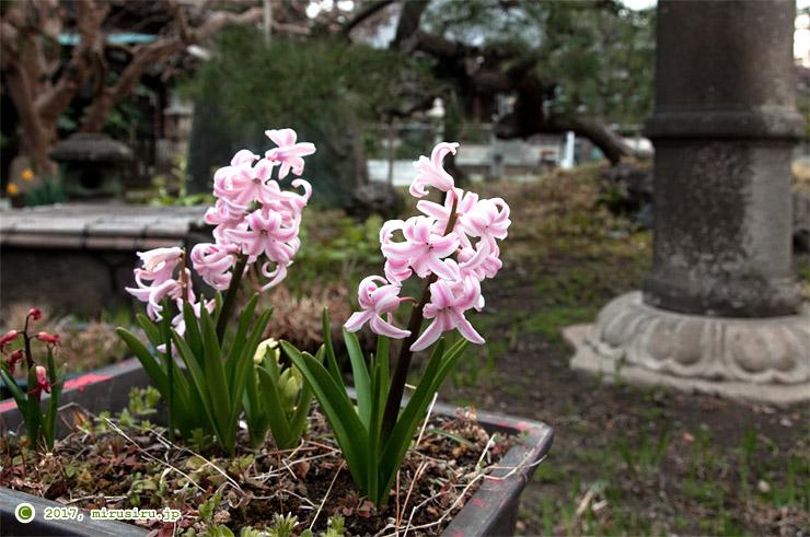 ヒヤシンス 鎌倉市・本覚寺 2017/03/28