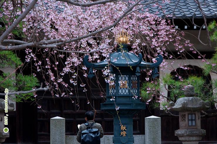 シダレザクラ 鎌倉市・本覚寺 2017/03/28
