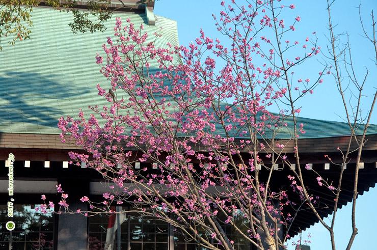 ヨコハマヒザクラ 寒川神社 2017/04/03