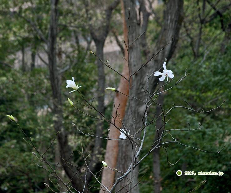 タムシバ 東京都小平市・東京都薬用植物園 2017/04/08